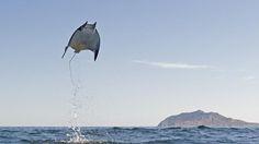 Male and female mobula munkiana jump from the water (credit: Octavio Aburto / iLCP)