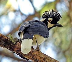 The amazing Tufted Jay is often one of the favourite birds seen on the tour (Pete Morris)