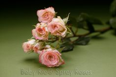 Baby Rio® ELECTRA Spray Rose