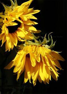380 Sunflower Garden Ideas In 2021 Sunflower Sunflower Garden Sunflowers And Daisies