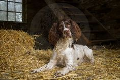 Dog Photographer, Dog Portraits, Equine Portraits and much more.   Springer Spaniel during hayloft session.
