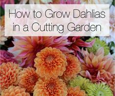 In this week's #Garden #Blog we get great tips on growing and maintaining dahlias from avid gardener and floral designer Alicia Schwede (Flirty Fleurs) Read on for expert advice on How to Grow Dahlias in a Cutting Garden: http://blog.longfield-gardens.com/how-to-grow-dahlias-in-a-cutting-garden/
