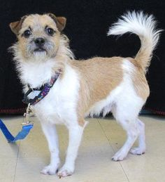 Hey guys! I'd like to introduce Crockett! Crockett is a sweet #ParsonRussellTerrier boy looking for a loving family to call his own. What do you guys think? Can we can help finding the handsome little boy a forever home? http://www.doggielife.com/crockett/dogs/RZRS1B