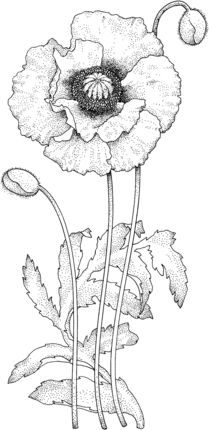 Click to see printable version of Poppy Blossom coloring page