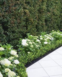 Be inspired by this brilliantly designed Takapuna courtyard A border of 'Princess Juliana' white hydrangeas and buxus hug the tall eugenia hedge.A border of 'Princess Juliana' white hydrangeas and buxus hug the tall eugenia hedge. Hydrangea Landscaping, Outdoor Landscaping, Front Yard Landscaping, Courtyard Landscaping, Landscaping Tips, House Landscape, Landscape Design, Garden Design, Landscape Architecture