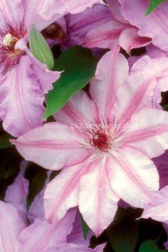 Clematis 'Charissima' climbing vine portrait of single flower