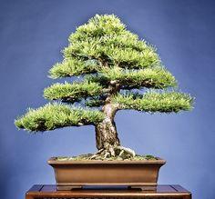 Classic Bonsai informal upright Hornibrook Austrian pine or Dwarf Austrian pine from Bill Balavanis.