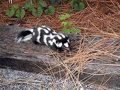 skunk., we called them civic cats we I was a kid.  I don't believe we have them in Missouri anymore.