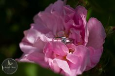 Engagement ring in a beautiful smelling rose at Rococo Gardens, Painswick, Gloucestershire www.melaniechadd.co.uk