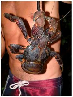 Coconut Crabs: Adult Coconut Crabs feed on fruits, nuts, seeds & the pith of fallen trees but will eat carrion and organic matter opportunistically.  ~ [Wikipedia]