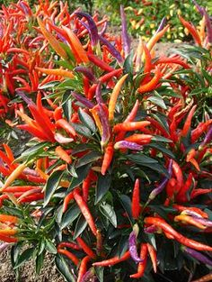 Garda Fireworks Ornamental Pepper