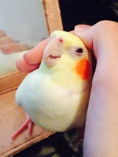 Training Your Pet Parrot Funny Birds, Cute Birds, Pretty Birds, Cute Funny Animals, Cute Baby Animals, Beautiful Birds, Animals Beautiful, Animals And Pets, Cockatiel
