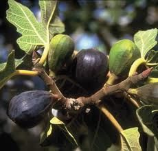The Black Mission Fig Tree is one of the most popular figs originating from Spain and brought to North America by Spanish missionaries. It is a medium to large, pear shaped, purplish-black fig. The flesh is strawberry colored with excellent flavor. Many experts consider the Black Mission Fig Tree to be the best all-around variety for the south, north, coast and interior United States. Black Mission Figs ripen Summer to Fall.