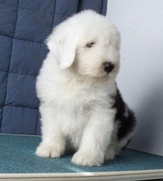 old english sheepdog photo | Old English Sheepdog Puppies for sale in Burnaby, British Columbia ...