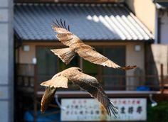 Kyoto Raiders by Paco Alcantara #Photography #Birds #Kyoto #BirdsofPrey #BirdofPrey #Bird of Prey #LIFECommunity