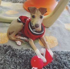 This is Pinhead Gunpowder he is an Italian greyhound puppy his ears are my favorite! http://ift.tt/2nq0y3c