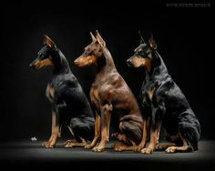 Dobermans. So easy to get a good photo when they are obedience trained.