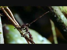 Cordiceps the Mind Control Fungi