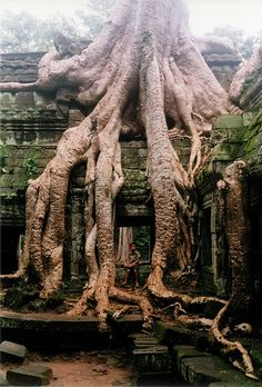 Ta Prohm Temple, Angkor Wat roots from a silk-cotton tree. Siem Reap, Cambodia