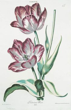 Tulip 'Fredericus Rex' (1768-1786) by Georg Dionysius Ehret (1708-1770). Plate from 'Hortvs, nitidissimis omnem per annvm svperbiens floribvs : sive, Amoenissimorvm florvm imagines' … Christophorvs...