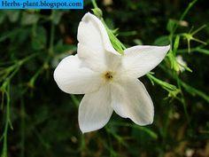 صور زهرة الياسمين