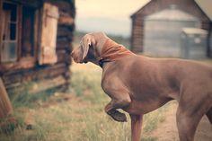 Weimeraner Dog Pointing