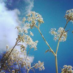 Het fluitekruid staat overal in bloei, zoals hier in Almeerderhout.