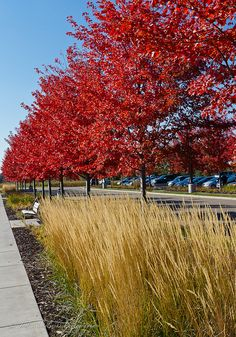 Autumn Blaze Maple Trees