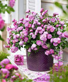Lucky fairie lilac miniature rose