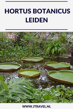 In Leiden is de oudste nog bestaande botanische tuin van Nederland te bezoeken. Er zijn kassen met orchideeën, de reuzenwaterlelie, varens, tropische planten, een Chinese Kruidentuin, de Clusiustuin, de varentuin, de bollentuin, de Von Siebold Gedenktuin en systeemtuinen te zien. Meer lezen over deze Hortus. Neem een kijkje op mijn website. #hortus #leiden #jtravel #jtravelblog