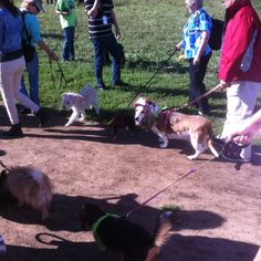 Wiggle Waggle Walk-a-thon. Every dog was so excited