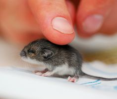 I dont care what anyone says. this baby mouse is adorable!
