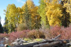 Fall on the river at HCW Lodge~ the colors just glow!