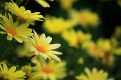 #1644530, Free Awesome daisy wallpaper