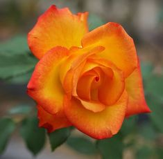 Beautiful Roses, Beautiful Flowers, Rose Reference, Hybrid Tea Roses, Nature Aesthetic, Orange Flowers, Mother Nature, Plants, Painting