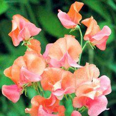 En re - utvalda släktklenod sort som producerar massor av relativt små blomningar av slående orange med en lätt doft . Vissa blommor har en blixt av ljus rosa . Häpnadsväckande ! Höjd 1,8 m . . Våren är den tid som de flesta tänker på sådd sina söta ärtor ( Lathyrus odoratus ) utan att inse att traditionellt brukade de sås på hösten för tidig sommar blomning året därpå . De kommer att blomma från slutet av maj och framåt . Fördelen med höstsådd , förutom tidigare blomning , ligger i det…