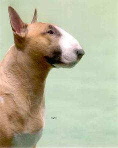 Rufus, Westminster winner. #Bull #Terrier