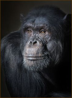 Pensive chimpanzee | By Carles Just