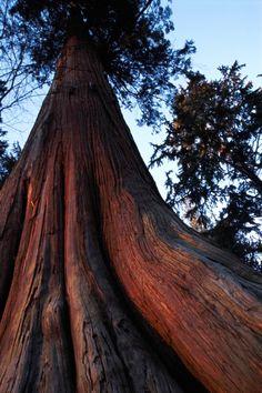 A Western Red Cedar in Stanley Park in Vancouver. #explorebc