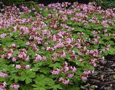 "Geranium macrorrhizum ""Ingwersen"" - bodembedekker - halfschaduw / zon - goed winterhard - geurend blad"