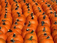 Pumpkins, pumpkins,pumpkins