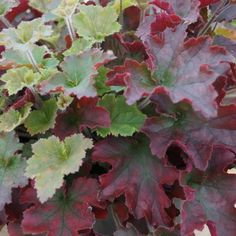Heuchera 'Red Dress' from the Chelsea Gold Medal winning nursery Plantagogo, which is also the holder of the National Collection for Heuchera, Heucherella and Tiarella. Perennial Flowering Plants, Shade Perennials, Shade Plants, Nature Plants, Foliage Plants, Exotic Plants, Tropical Plants, Jardins D'hostas, Beautiful Gardens