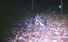 Clouded leopard (Neofilis nebulosa). Clouded leopards are heavily hunted for their teeth, bones and unique coats.