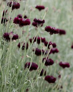 I a-d-o-r-e cornflowers but especially this variety called 'Black Ball' with its deep burgundy petals! It was just one of the many blooms I photographed this week at @pickedatdawn in Thirsk Yorkshire. There was such an abundance of breath-taking flowers to capture there that I could have easily stayed all day! | #underthefloralspell #bloomandgrow
