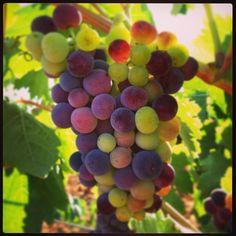 Envero de la uva. #vino