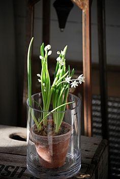 Narcisos...