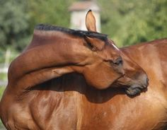 Scratching Out Equine Allergies