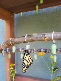 How to Safely Move & Hang a Monarch Butterfly Chrysalis ~ Homestead and Chill butterfly diy How to Safely Move & Hang a Monarch Butterfly Chrysalis ~ Homestead and Chill butterfly decorations Monarch Butterfly Habitat, Butterfly Cage, Butterfly Food, Butterfly Chrysalis, Butterfly Garden Plants, Butterfly Feeder, Garden Insects, Butterfly House, Butterfly Crafts