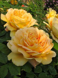 'Golden Celebration' roses