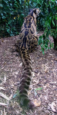 Clouded Leopard...talk about a tail! They DO have VERY long tails. Helps them balance in trees.